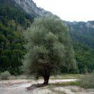 Der Elfenbaum
